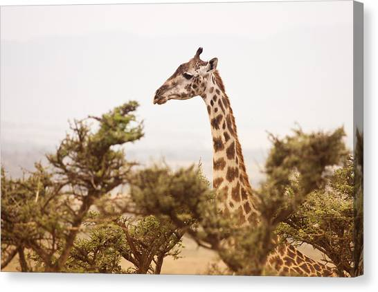 Giraffes Canvas Print - Wildlife by Vanessa Gavalya