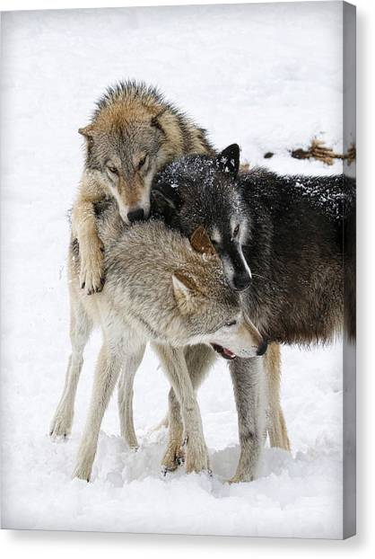 Canvas Print - Wolf Pack by Steve McKinzie