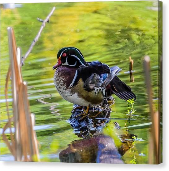 Wood Duck Canvas Print
