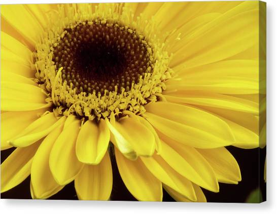 Yellow Gerbera Daisy Canvas Print