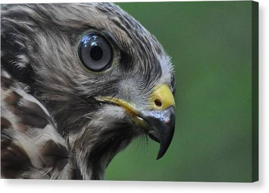 Young Red-shouldered Hawk Canvas Print by Monteen  McCord
