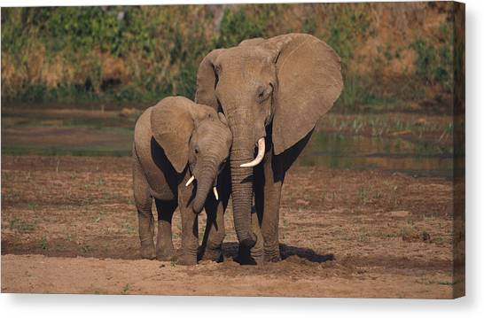 Ivory Canvas Print - Elephant by Mariel Mcmeeking