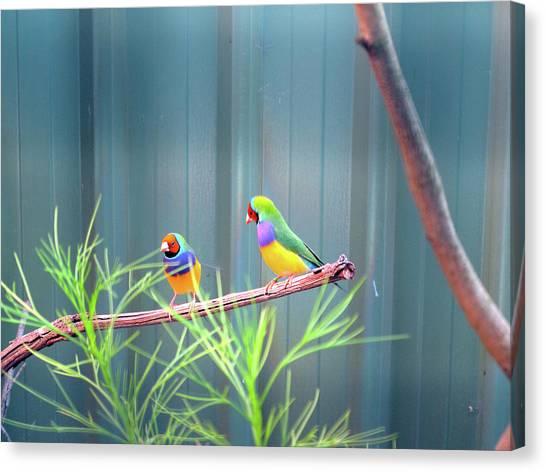 Aussie Rainbow Lovebirds Canvas Print