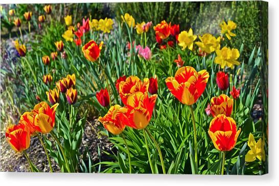 2015 Acewood Tulips 1 Canvas Print