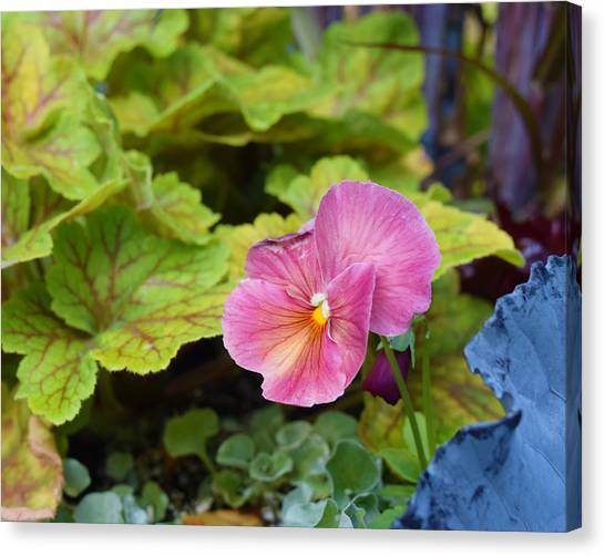 2015 After The Frost At The Garden Pansies 3 Canvas Print