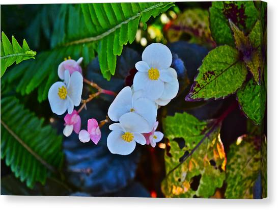 2015 Early September At The Garden Begonias Canvas Print