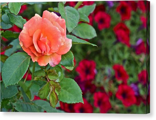 2015 Fall Equinox At The Garden Sunset Rose And Petunias Canvas Print