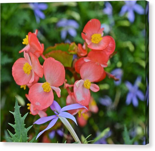 2015 Mid September At The Garden Begonias 2 Canvas Print