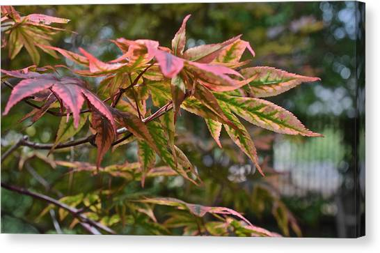 2015 Mid-september At The Garden Japanese Maple 1 Canvas Print