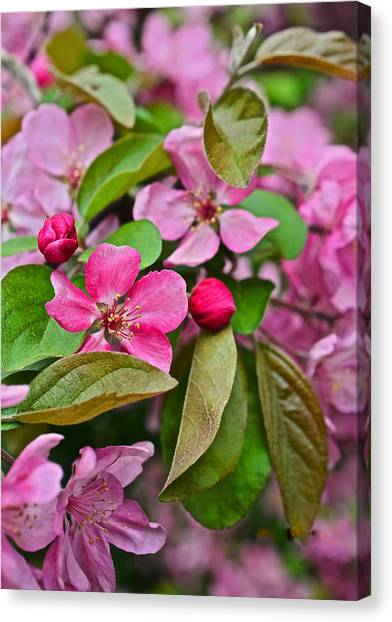 2015 Spring At The Gardens Pink Crabapple Blossoms 2 Canvas Print