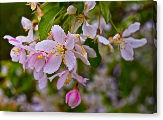 2015 Spring At The Gardens White Crabapple Blossoms 1 Canvas Print