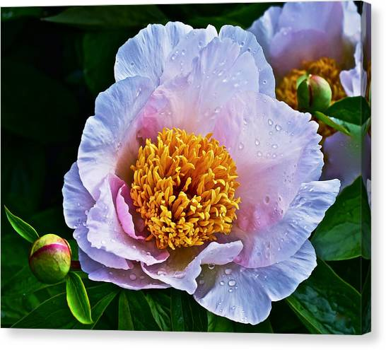 2015 Spring At The Garden White Peony  Canvas Print