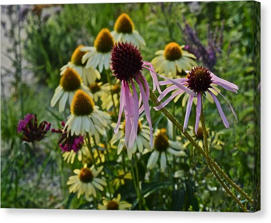 2015 Summer At The Garden Coneflowers Canvas Print