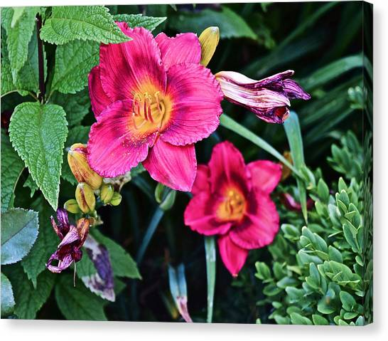 2015 Summer At The Garden Strawberry Candy Daylily 2 Canvas Print
