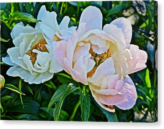 2015 Summer's Eve At The Garden White Peony Duo Canvas Print