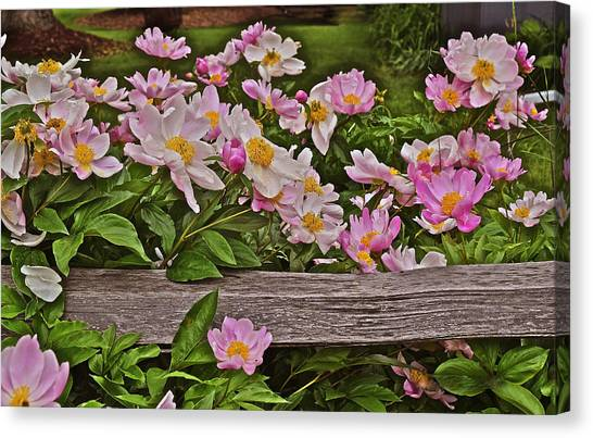 2015 Summer's Eve Front Yard Peonies 1 Canvas Print
