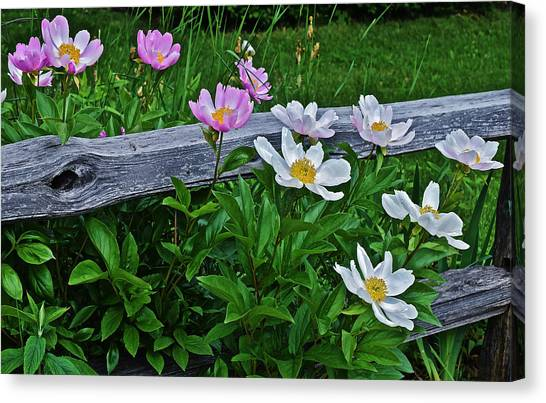 2015 Summer's Eve Neighborhood Garden Front Yard Peonies 2 Canvas Print