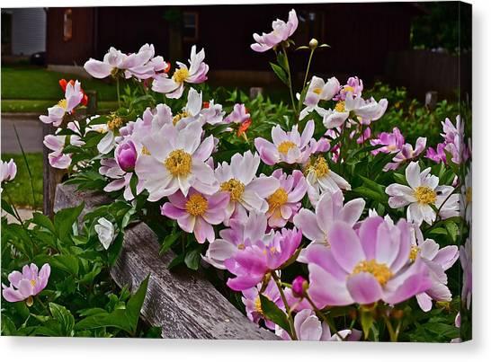 2015 Summer's Eve Neighborhood Garden Front Yard Peonies 4 Canvas Print