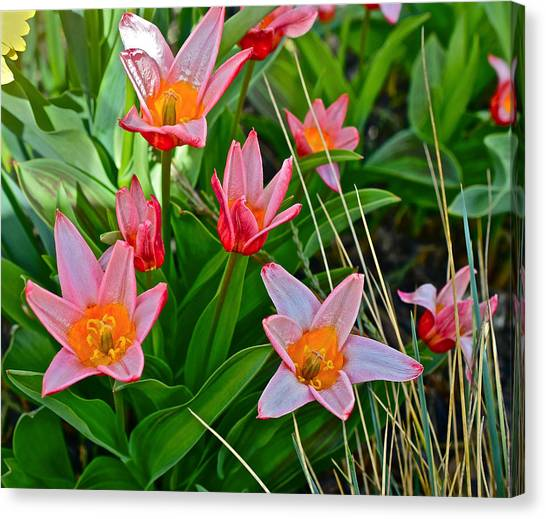 2016 Acewood Tulips 2 Canvas Print