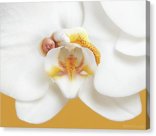 Orchids Canvas Print - Mia In A Moth Orchid by Anne Geddes