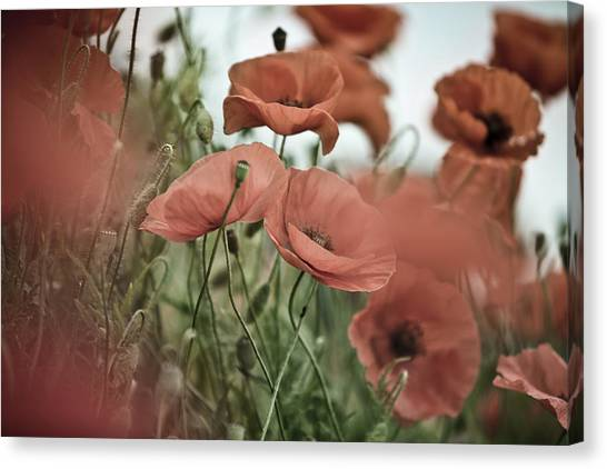 Corn Canvas Print - Poppy Meadow by Nailia Schwarz