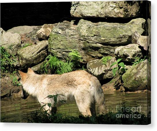 The Wild Wolve Group A Canvas Print by Debra     Vatalaro