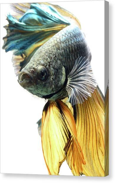 Macaws Canvas Print - Betta by Mariel Mcmeeking