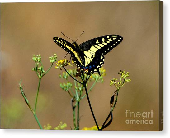 Butterfly Canvas Print by Marc Bittan