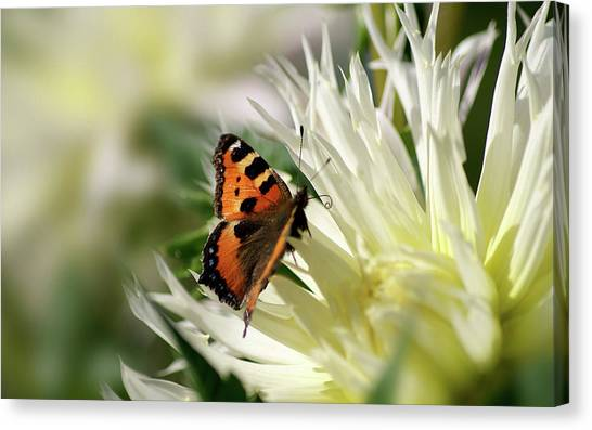 Peacocks Canvas Print - Butterfly by Super Lovely