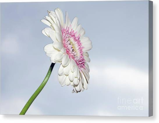 Beautiful Gerber Canvas Print