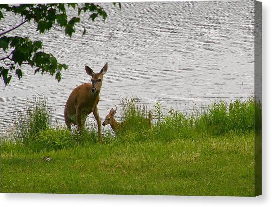 Kangaroo Canvas Print - Deer by Mariel Mcmeeking
