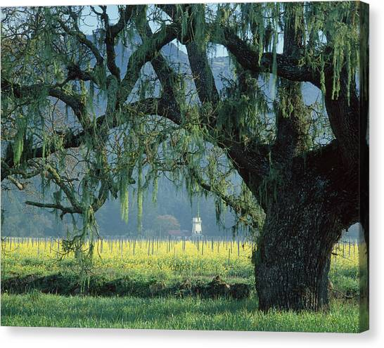 2b6319 Mustard In The Oaks Sonoma Ca Canvas Print