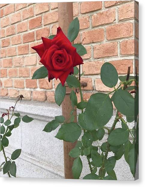 Red Roses Canvas Print - 🌹~ #picoftheday #photo #photography by Amanda Casarin