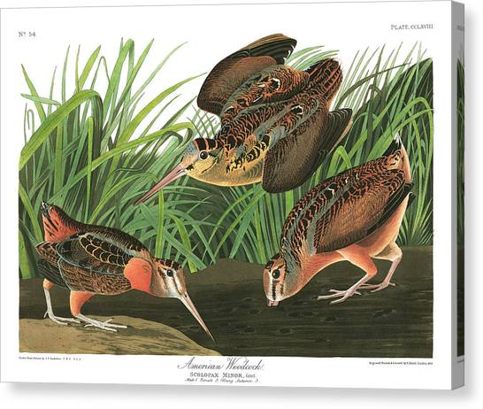 Woodcocks Canvas Print - American Woodcock by John James Audubon