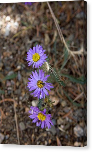 3 Asters 5943 Canvas Print