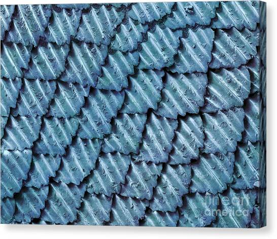 Black Tip Sharks Canvas Print - Blacktip Reef Shark Skin, Sem by Ted Kinsman