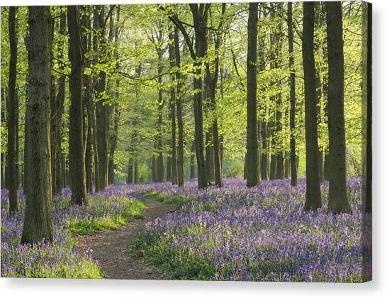 Bluebell Wood Canvas Print by Liz Pinchen