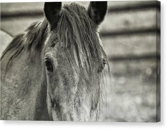 Buckskin Black And White Canvas Print by JAMART Photography