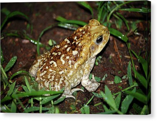 Cane Toad Canvas Print