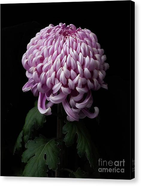 Chrysanthemum 'jefferson Park' Canvas Print