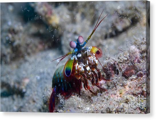 Kimbe Bay Canvas Print - Close-up View Of A Mantis Shrimp, Papua by Steve Jones