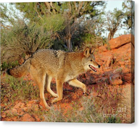 Coyote Canvas Print by Dennis Hammer