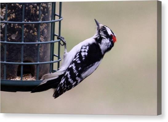 Downy Woodpecker Canvas Print by Annie Babineau