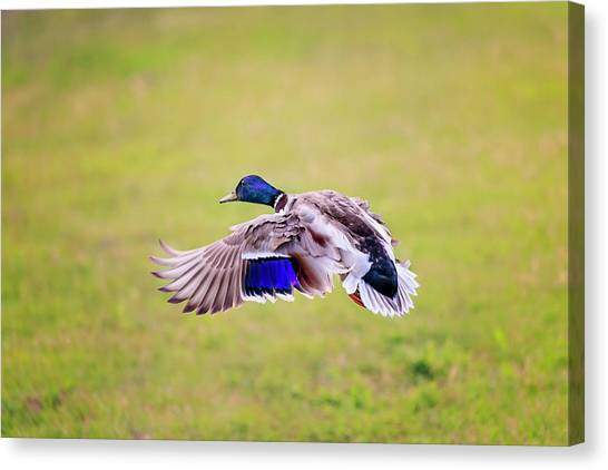 Duck-drake Canvas Print