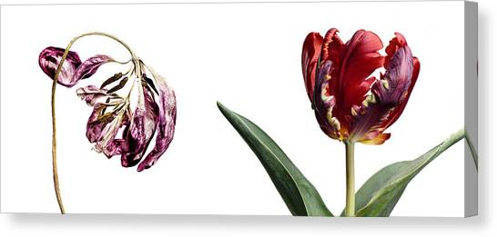 Red Tulip Canvas Print - Fading Beauty by Nailia Schwarz