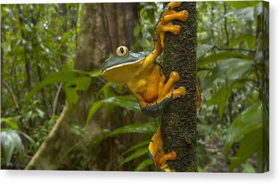 Salamanders Canvas Print - Frog by Maye Loeser