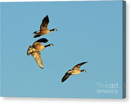 3 Geese In Flight Canvas Print