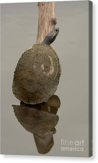 Amazon River Canvas Print - Giant Amazon River Turtle by Dr. Gilbert S. Grant