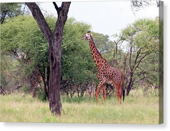Giraffes Eating Acacia Trees Canvas Print