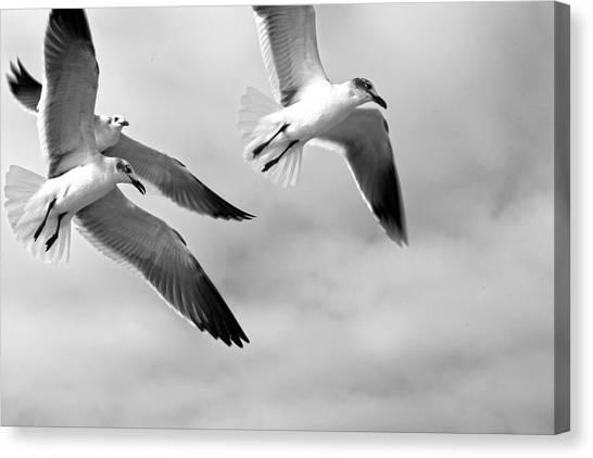 3 Gulls Canvas Print